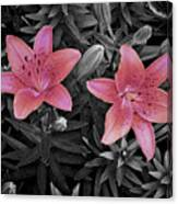 Pink Daylilies With Partially Desaturated Petals And Black And White Background Canvas Print