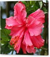 Pink Hibiscus Flower On A Tree Canvas Print