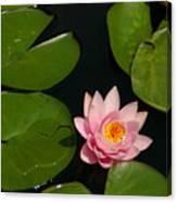 Pink Lotus Waterlily Canvas Print