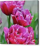Pink Parrot Tulips Canvas Print