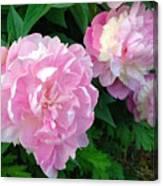 Pink White Peonies  Canvas Print