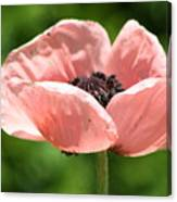Pink Poppy Canvas Print