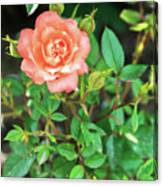 Pink Rose In The Garden Canvas Print