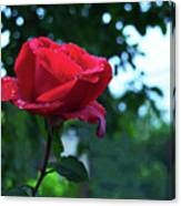 Pink Rose With Dew Drops Canvas Print