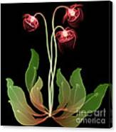 Pitcher Plant Flowers, X-ray Canvas Print