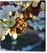 Plum Full Of Bees Canvas Print