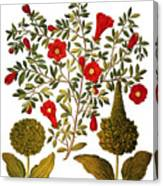 Pomegranate, 1613 Canvas Print