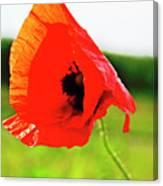Poppy The Beauty Canvas Print