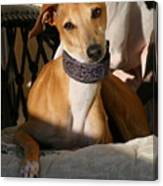 Portrait Of An Italian Greyhound Canvas Print