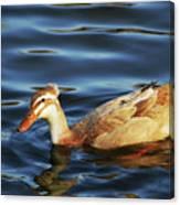 Puffy Headed Duck Canvas Print