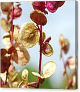 Purple Goosefoot Chenopodium Canvas Print