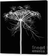 Queen Annes Lace, X-ray Canvas Print