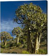 Quiver Tree Forest Canvas Print