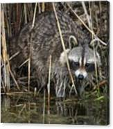 Raccoon Fishing Canvas Print