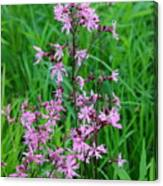 Ragged Robin Canvas Print