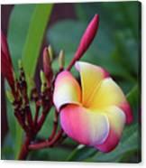 Rainbow Plumeria Canvas Print