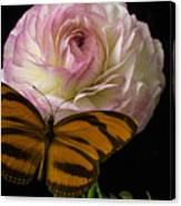 Ranunculus And Butterfly Canvas Print