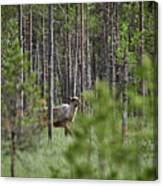 Rare And Wild. Finnish Forest Reindeer Canvas Print