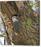 Red Bellied Wood Pecker Canvas Print