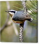 Red Breasted Nuthatch Canvas Print