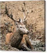 Red Deer Stag Cervus Elaphus Takes A Mudbath To Cool Down On Aut Canvas Print