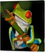 Red-eyed Green Tree Frog Hanging On Canvas Print