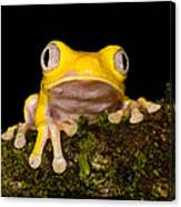 Red-eyed Treefrog, Xanthic Form Canvas Print