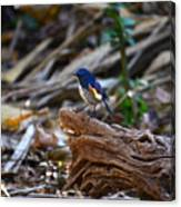 Red-flanked Bluetail 2 Canvas Print