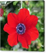 Red Anemone Coronaria 1 Canvas Print