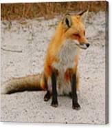 Red Fox 3 Canvas Print