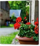 Red Garden Geranium Flowers In Pot , Close Up Shot / Geranium Fl Canvas Print