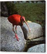 Red Ibis Canvas Print