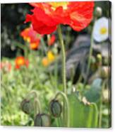 Red Iceland Poppy Canvas Print