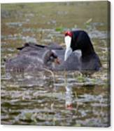 Red Knobbed Coot Canvas Print