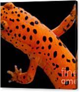 Red Salamander Canvas Print