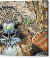 Red-tailed Hawk -5 Canvas Print