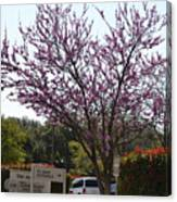Redbud Tree  Canvas Print