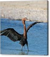 Reddish Egret Canvas Print