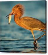 Reddish Egret With Fish Canvas Print