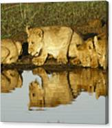 Reflected Lions Canvas Print
