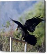 Resident Raven Canvas Print
