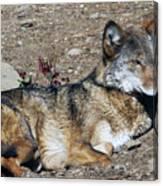 Resting Wolf Canvas Print