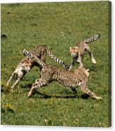 Ring Around The Cheetahs Canvas Print