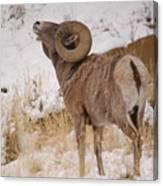 Rocky Mtn.big Horns Canvas Print