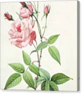 Rosa Indica Vulgaris Canvas Print