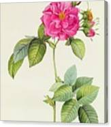 Rosa Turbinata Canvas Print