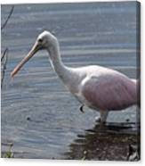Roseate Spoonbill Canvas Print