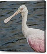Roseate Spoonbill 3 Canvas Print