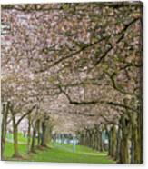 Rows Of Cherry Blossom Trees In Spring Canvas Print