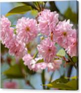 Sakura Flowers Canvas Print